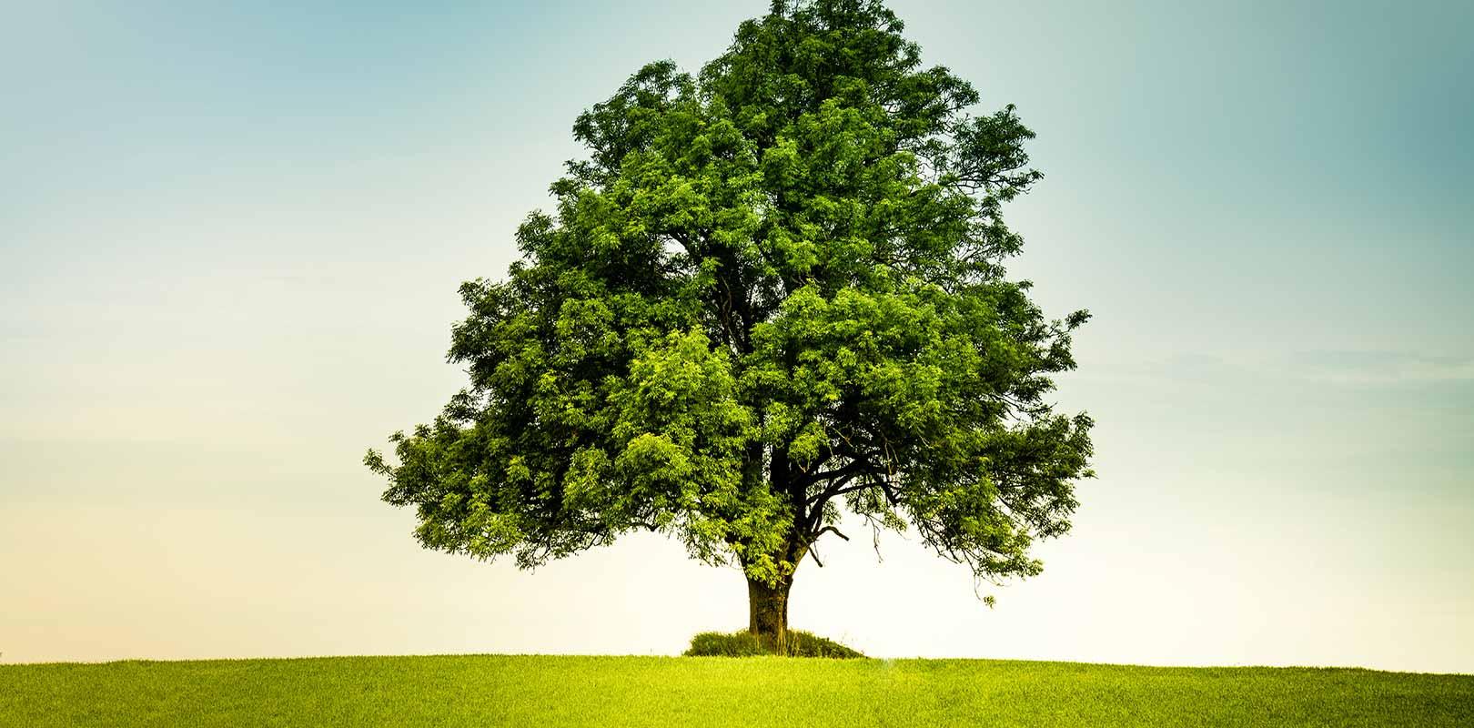Oak tree in field of grass